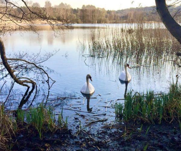 Cygnes sur l'étang de l'Escherbruch
